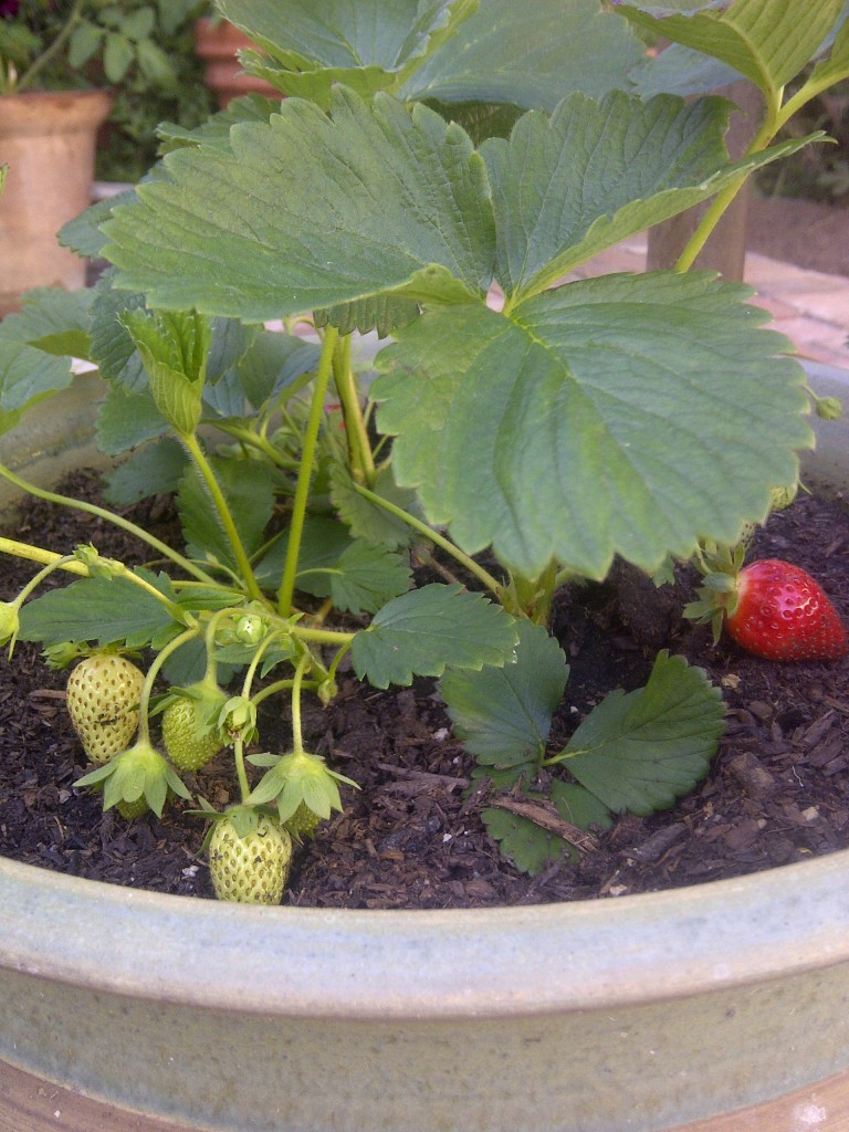 spring garden planting, strawberries