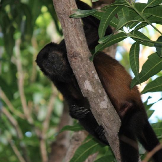 Large Monkey Costa Rica Andrea Fellman Canon